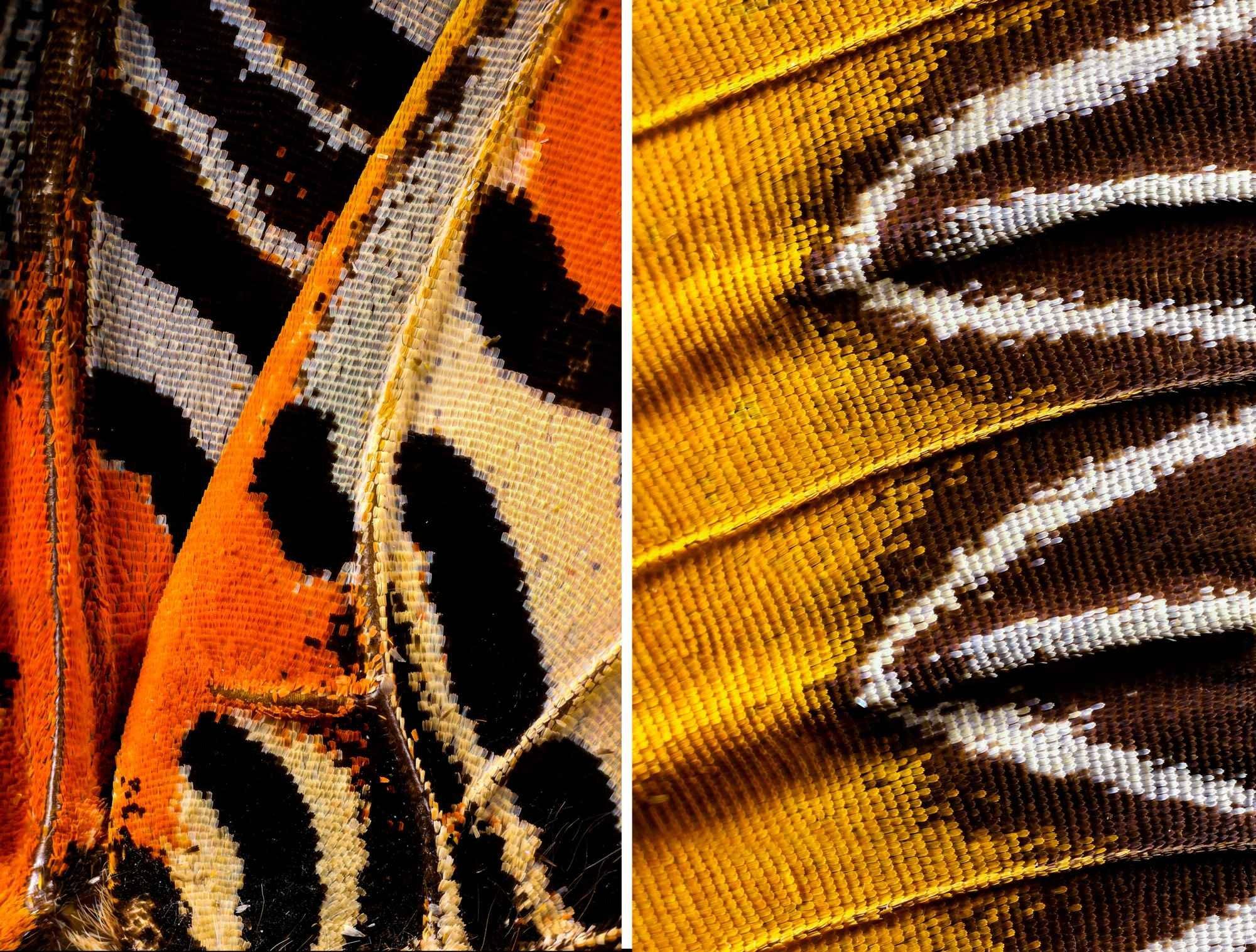 Крылья бабочек с невероятно близкого расстояния