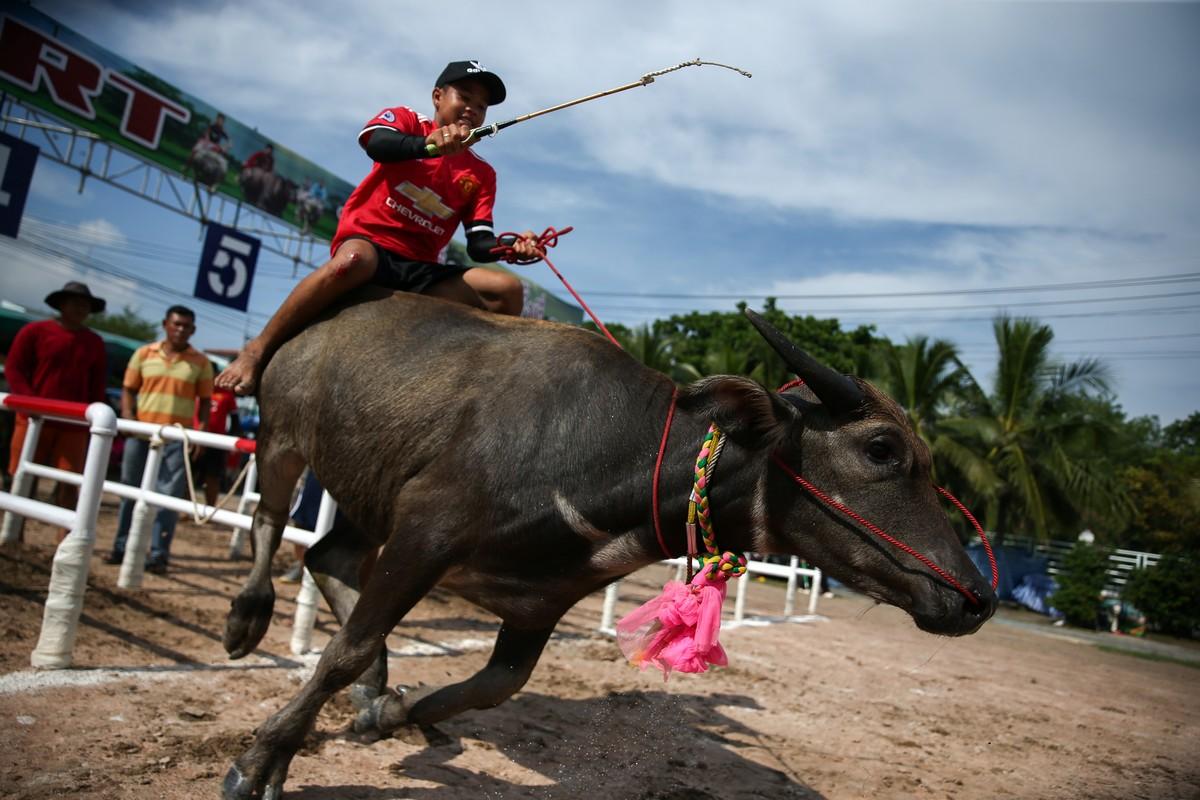 Гонки на буйволах в Таиланде