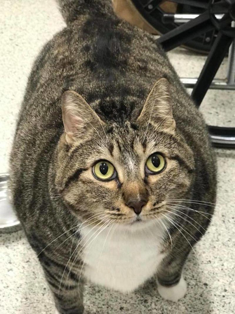 Коту весом 13 кг по кличке Пончик ищут хозяев