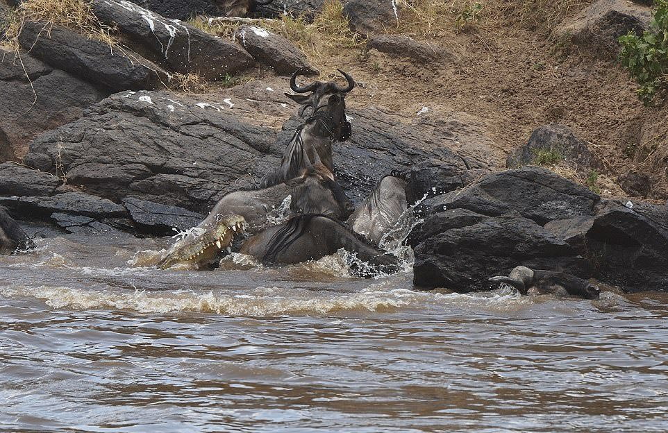 Переправа антилоп гну через реку в Африке