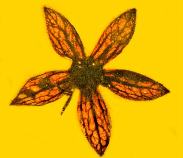 Цветы возрастом 100 миллионов лет обнаружили в Мьянме