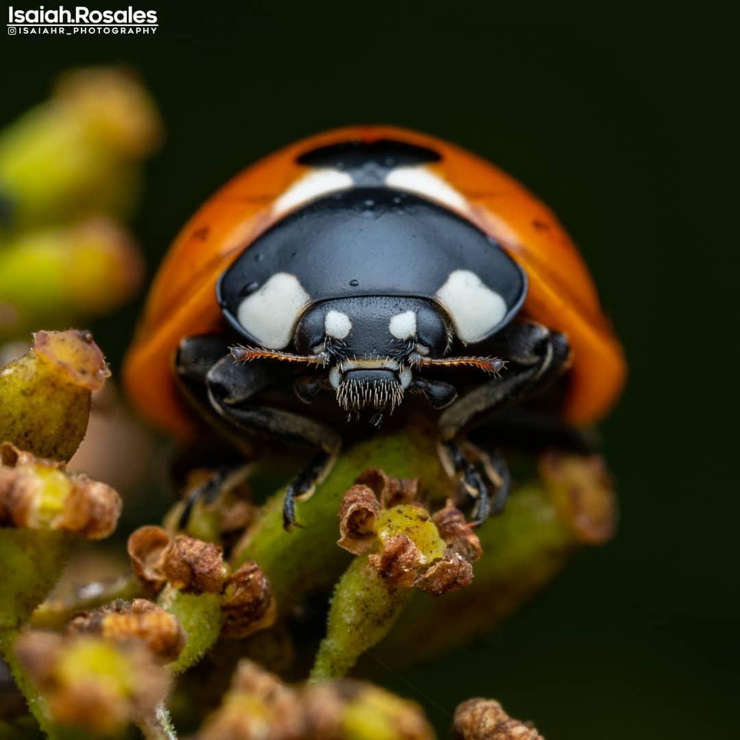 Макроснимки насекомых от Исайи Розалеса