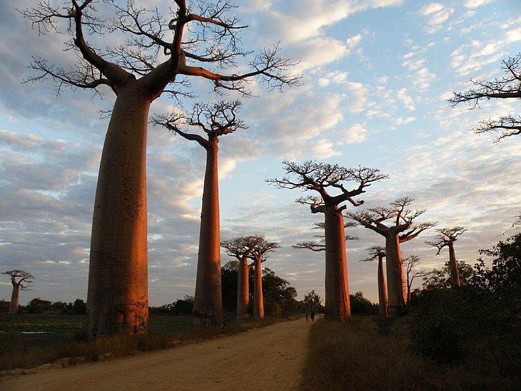 Баобаб - самое необычное дерево в мире