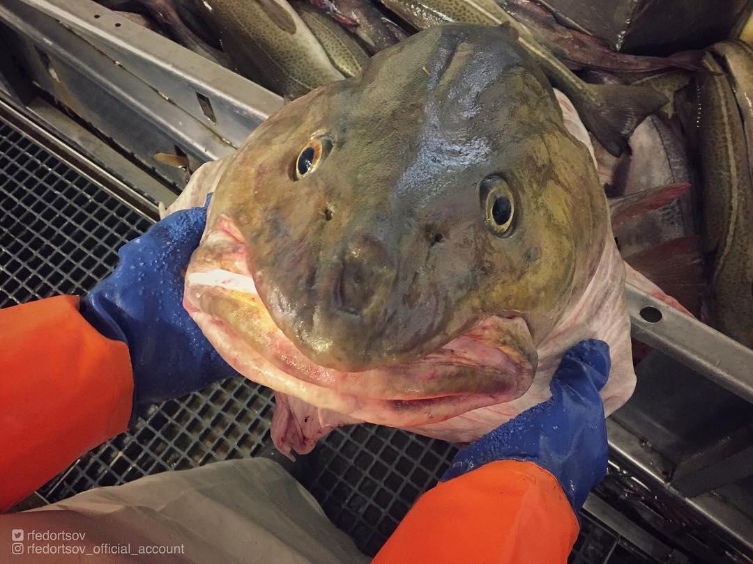 Российский рыбак Роман Федорцов продолжает снимать глубоководных тварей