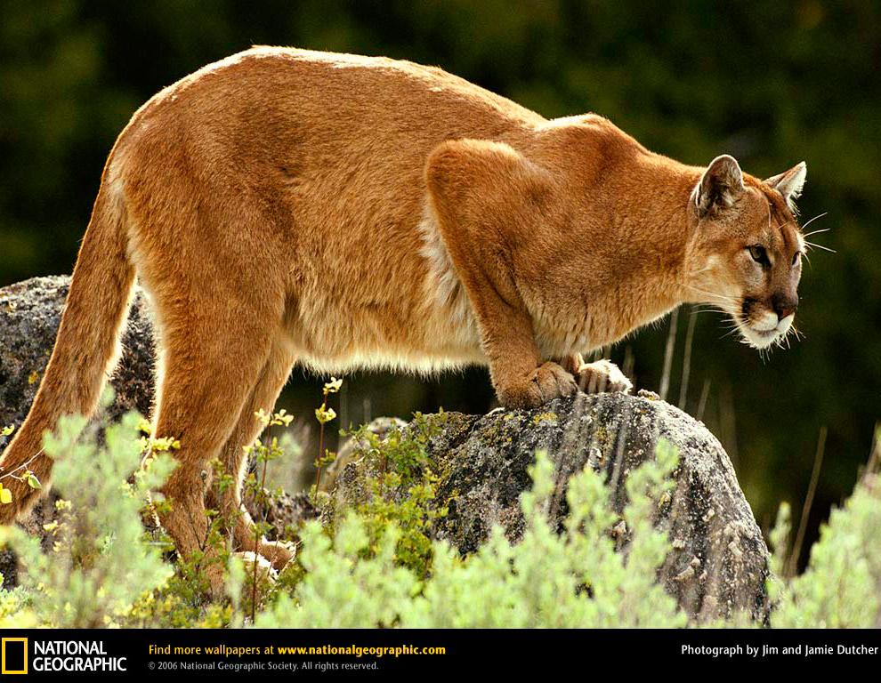 Большие кошки в объективе National Geographic