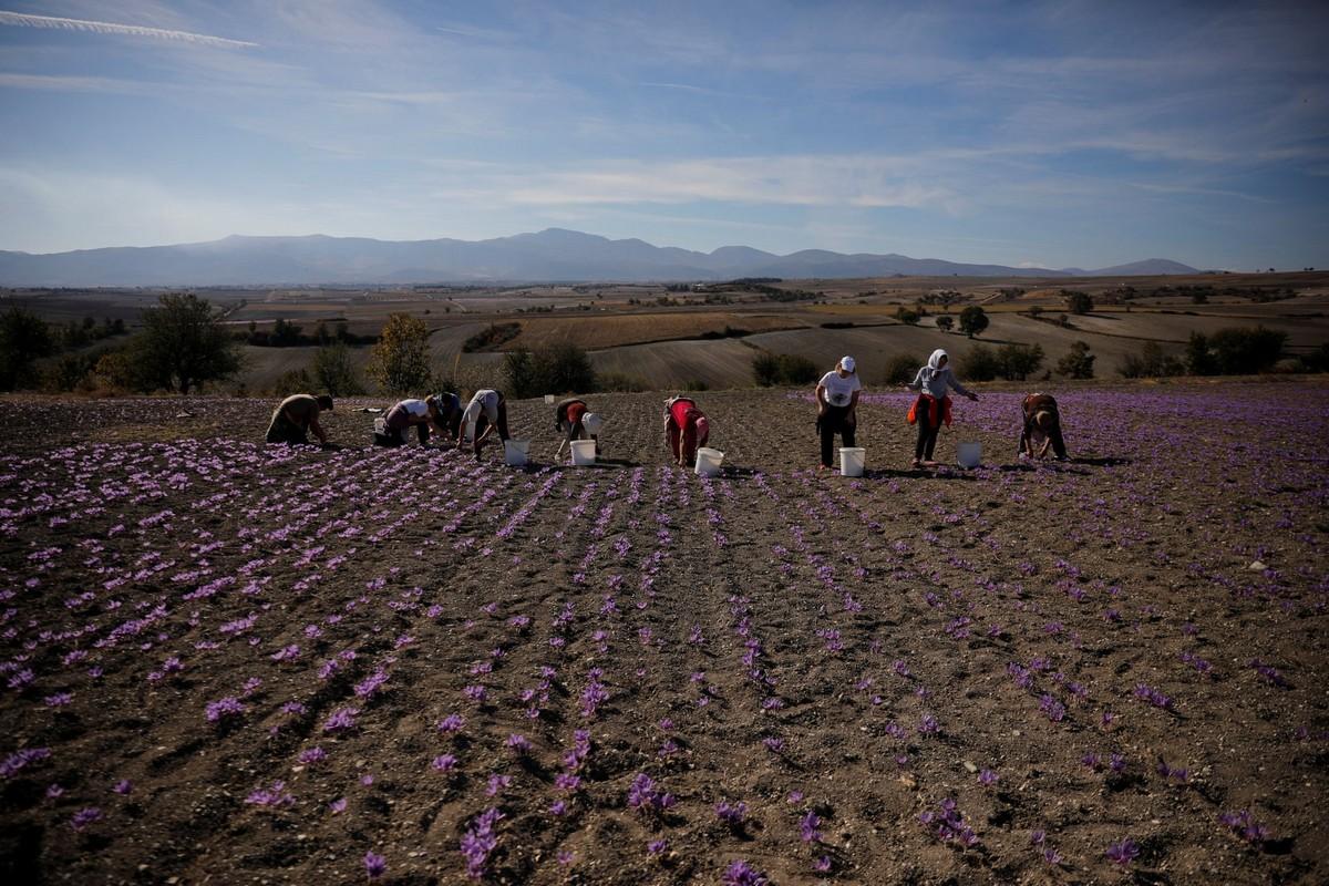 Выращивание шафрана в Греции