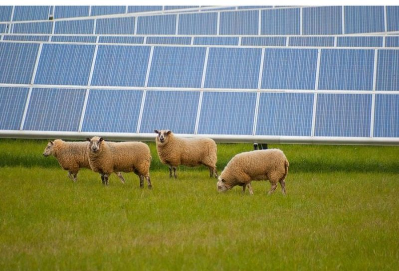 Соседство овец и солнечных электростанций