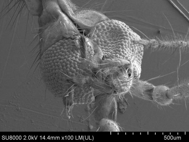 Комар-долгоножка под электронным микроскопом