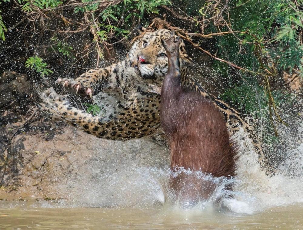 Благодаря хорошей реакции капибара не стала обедом ягуара