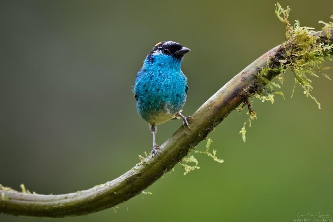 Красивые птицы Колумбии на снимках Луиса Фернандо Агудело