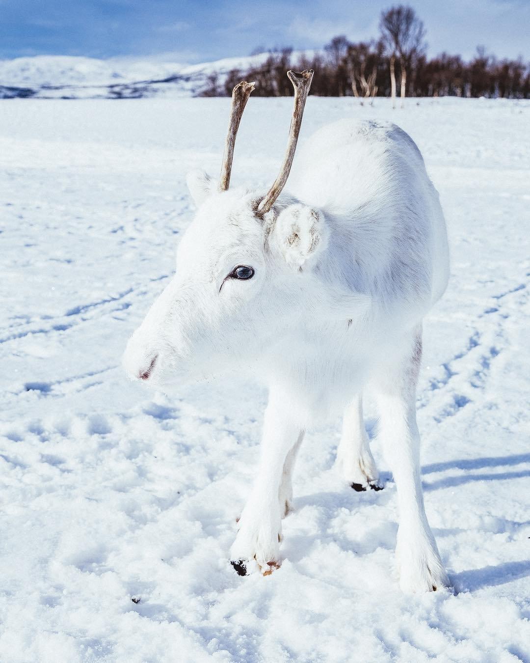 Уникальный детёныш белого оленя попал на фото в Норвегии