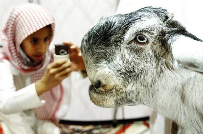 Из милых и красивых козлят вырастают знатные уродцы