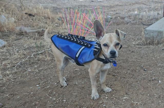 Жилеты с шипами для защиты питомцев от койотов