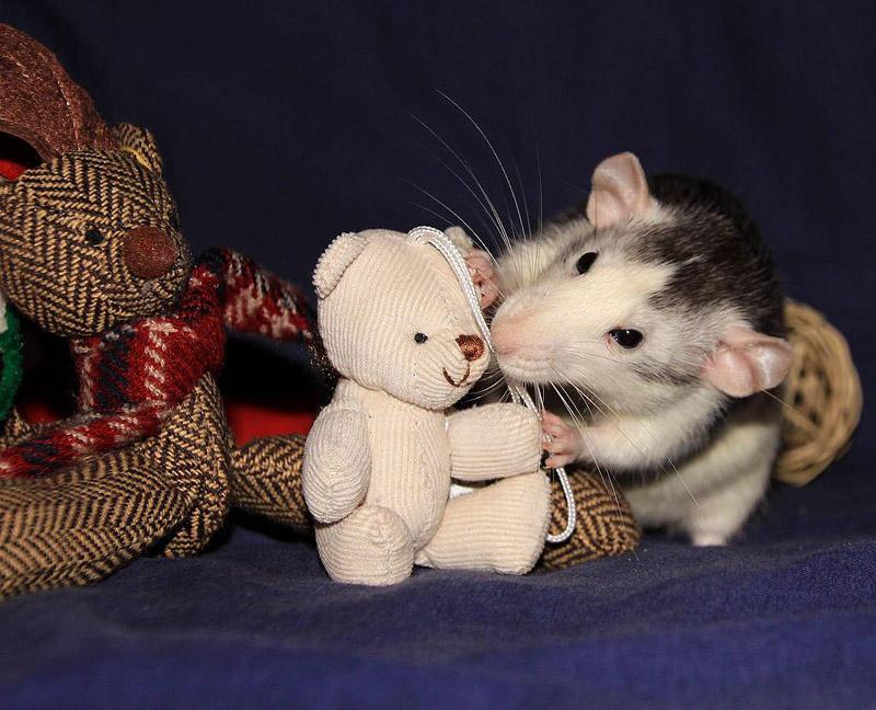 Очаровательные крысы спят с плюшевыми мишками