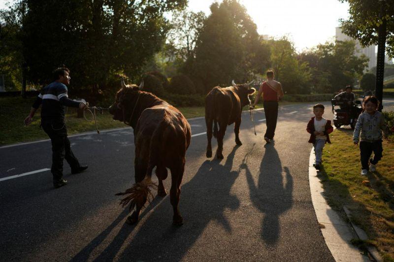 Поединок с быком - опасная смесь кунг-фу и корриды