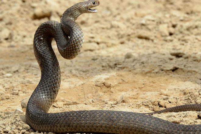 Самое опасное существо Австралии по версии ученых