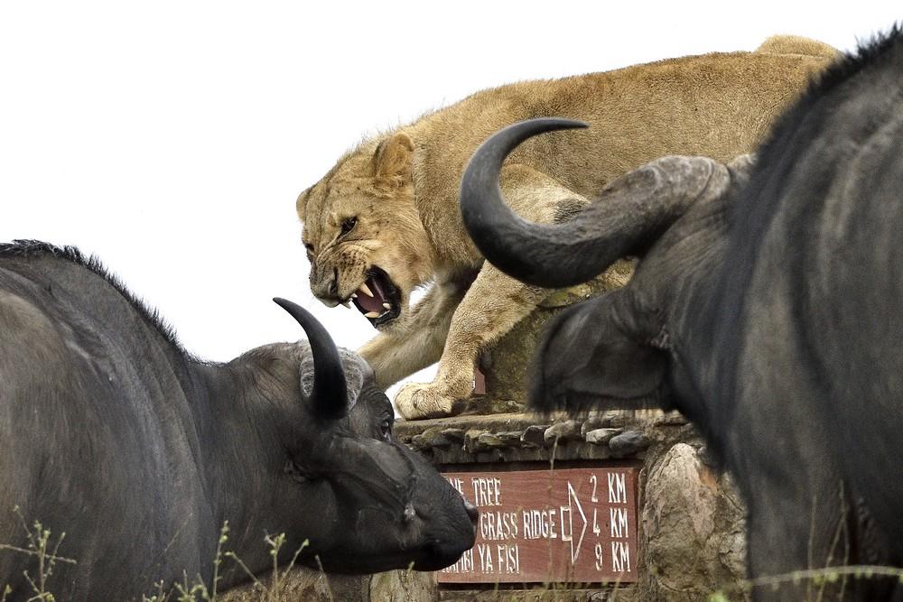 Молодого льва окружило стадо буйволов