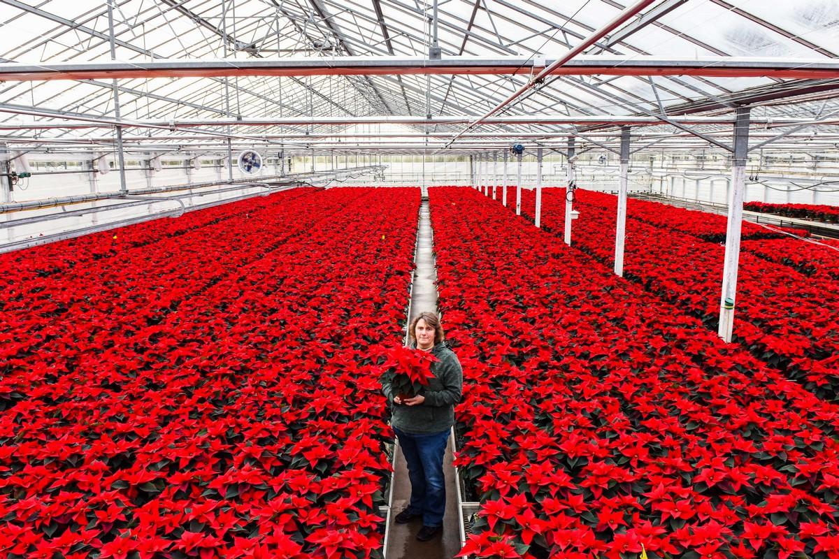 Выращивание цветущих пуансеттий в британском питомнике