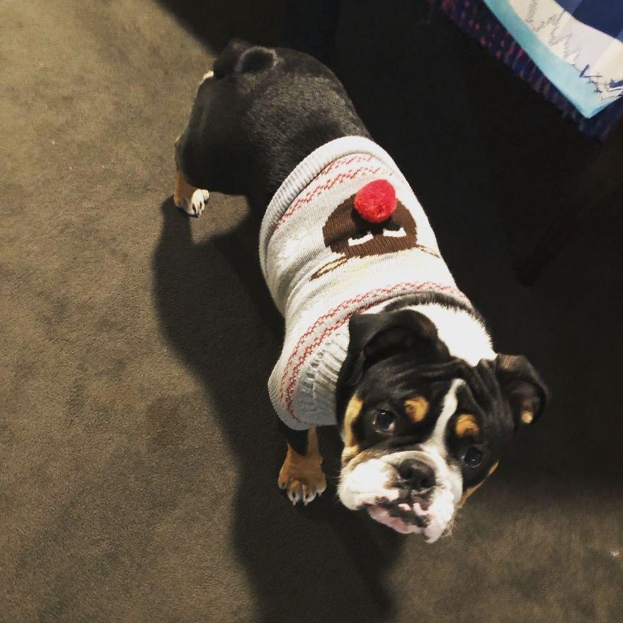 Милые собаки в новогодних и рождественских свитерах