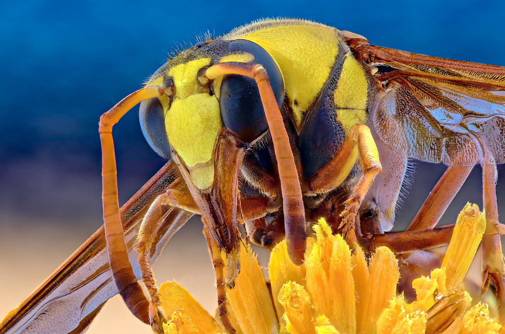 Захватывающие макроснимки насекомых Yudy Sauw