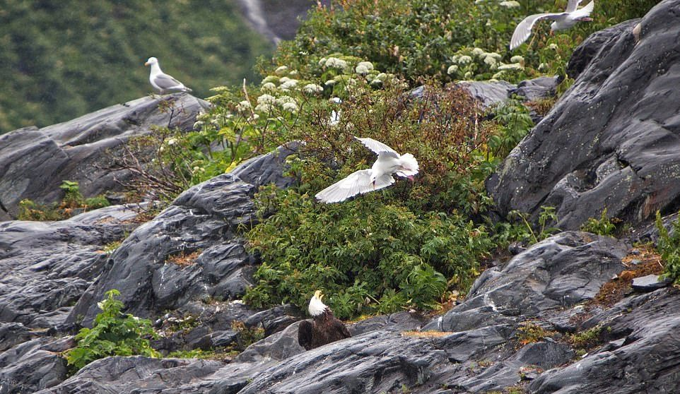 Чайка напала на орлана, чтобы отбить товарища