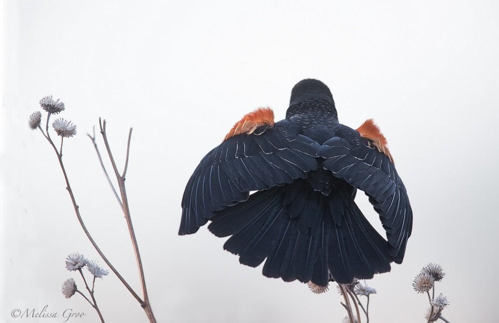 Портреты птиц и животных от Мелиссы Гроо
