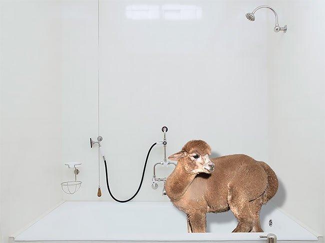 Календарь на 2019 год с альпака, которые наслаждаются роскошной жизнью