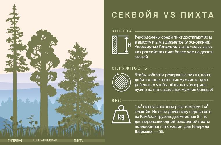 Секвойя - самое большое, высокое и старое дерево