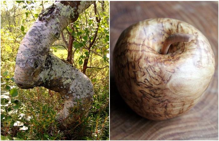 Карельская береза – необычное дерево северных лесов