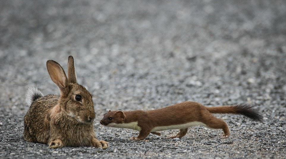 Кровожадный горностай завалил кролика