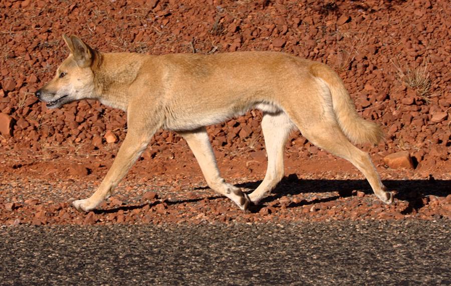 Необычный хищник планеты - дикая собака динго