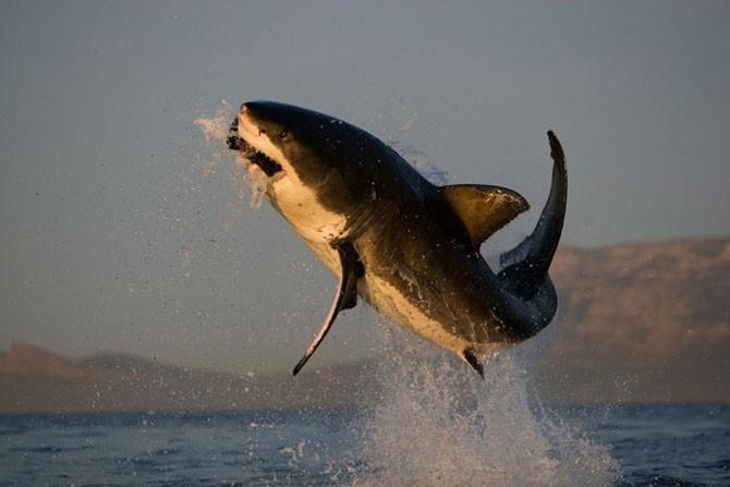 Челюсти акул убийц на снимках Криса Фоллоуса