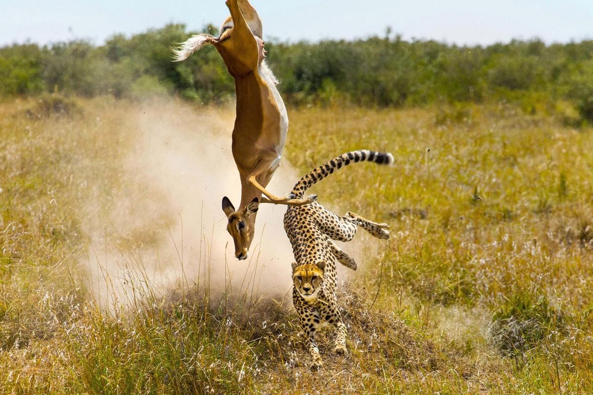 Невероятные пируэты убегающей от гепарда антилопы