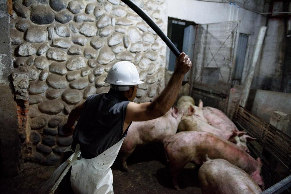 Айтор Гармендия тайно заснял жестокость на скотобойнях в Мексике (ФОТО)