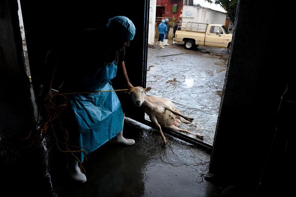 Айтор Гармендия тайно заснял жестокость на скотобойнях в Мексике