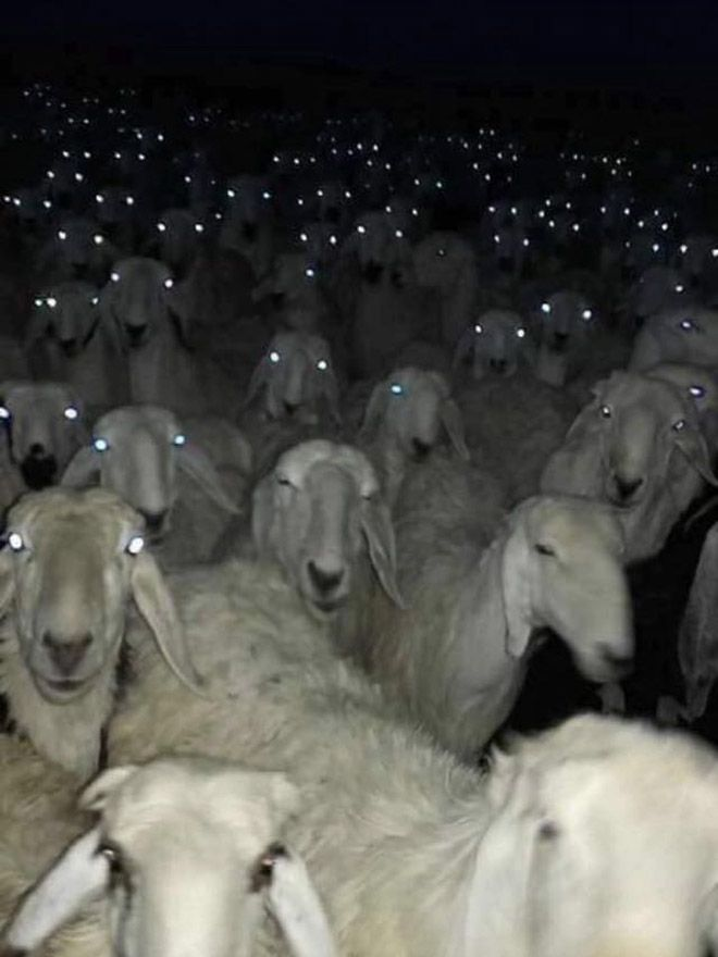 В темноте овцы выглядят страшновато