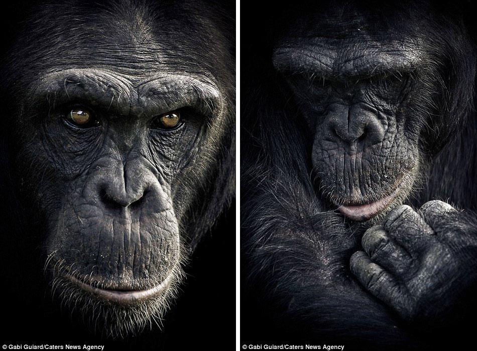 Выразительные эмоции шимпанзе в фотографиях