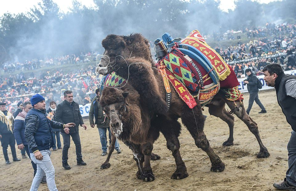 Турнир по верблюжьей борьбе в Турции