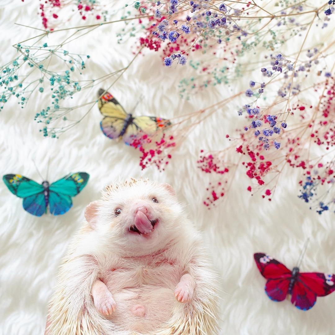 Домашний ёжик стал Instagram-моделью