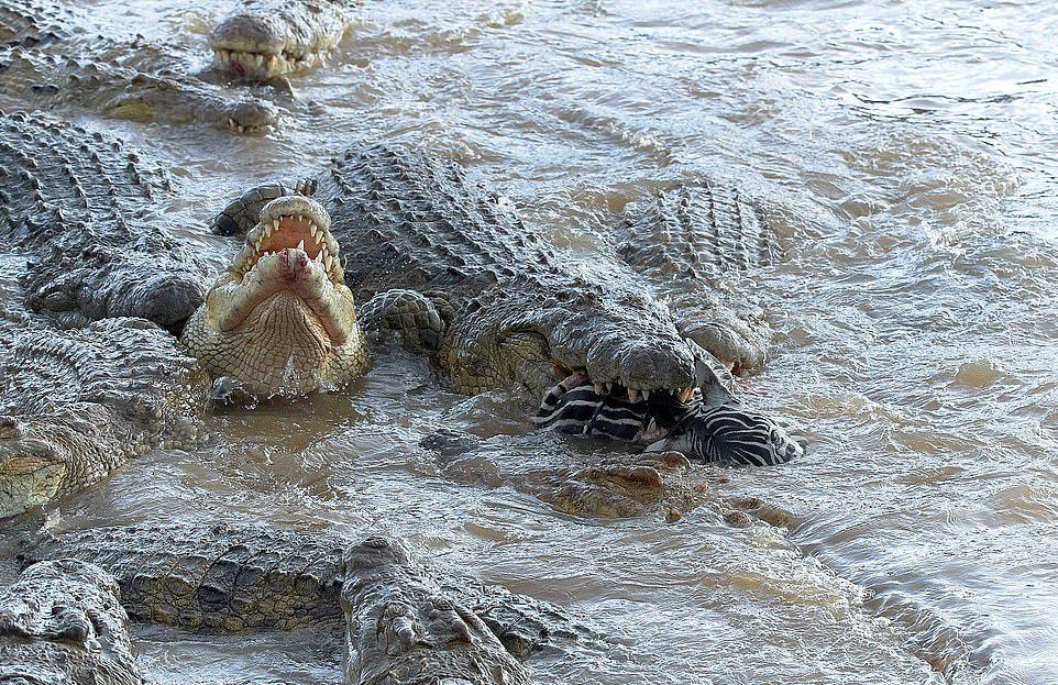 Голодные крокодилы полностью сожрали зебру