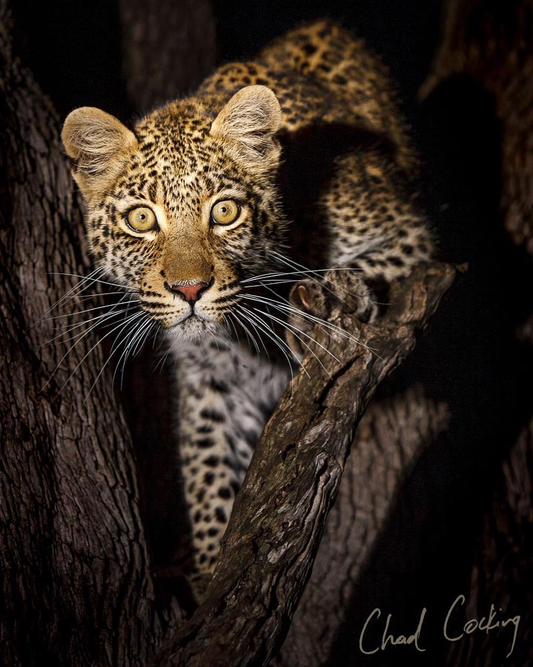 Дикие животные Африки в естественной среде обитания от Чада Кокинга