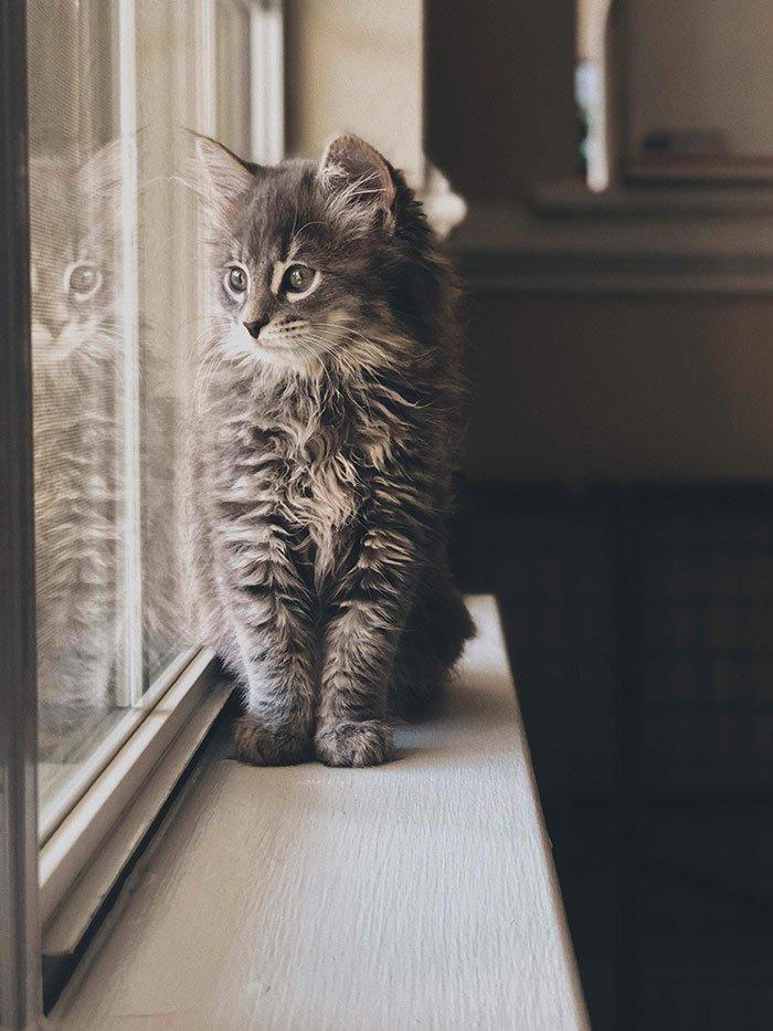 Очаровательные котята породы мейн-кун