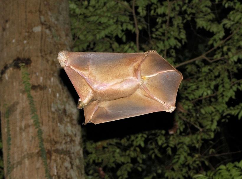 Экзотичные шерстокрылы, которые почти летают