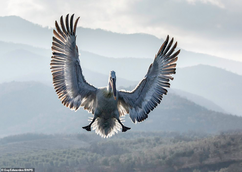 Удивительные фотографии пеликанов