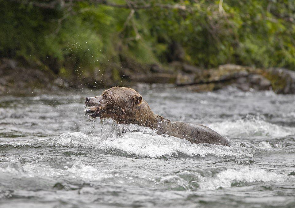 Бурый медведь ловит лосося на Аляске