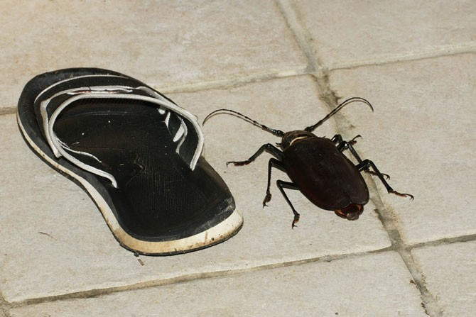 Самый большой жук в мире