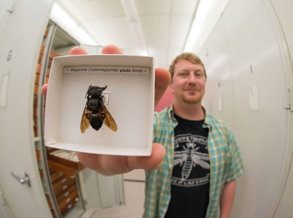 В Индонезии нашли гигантскую пчелу Уоллеса, считавшуюся вымершей