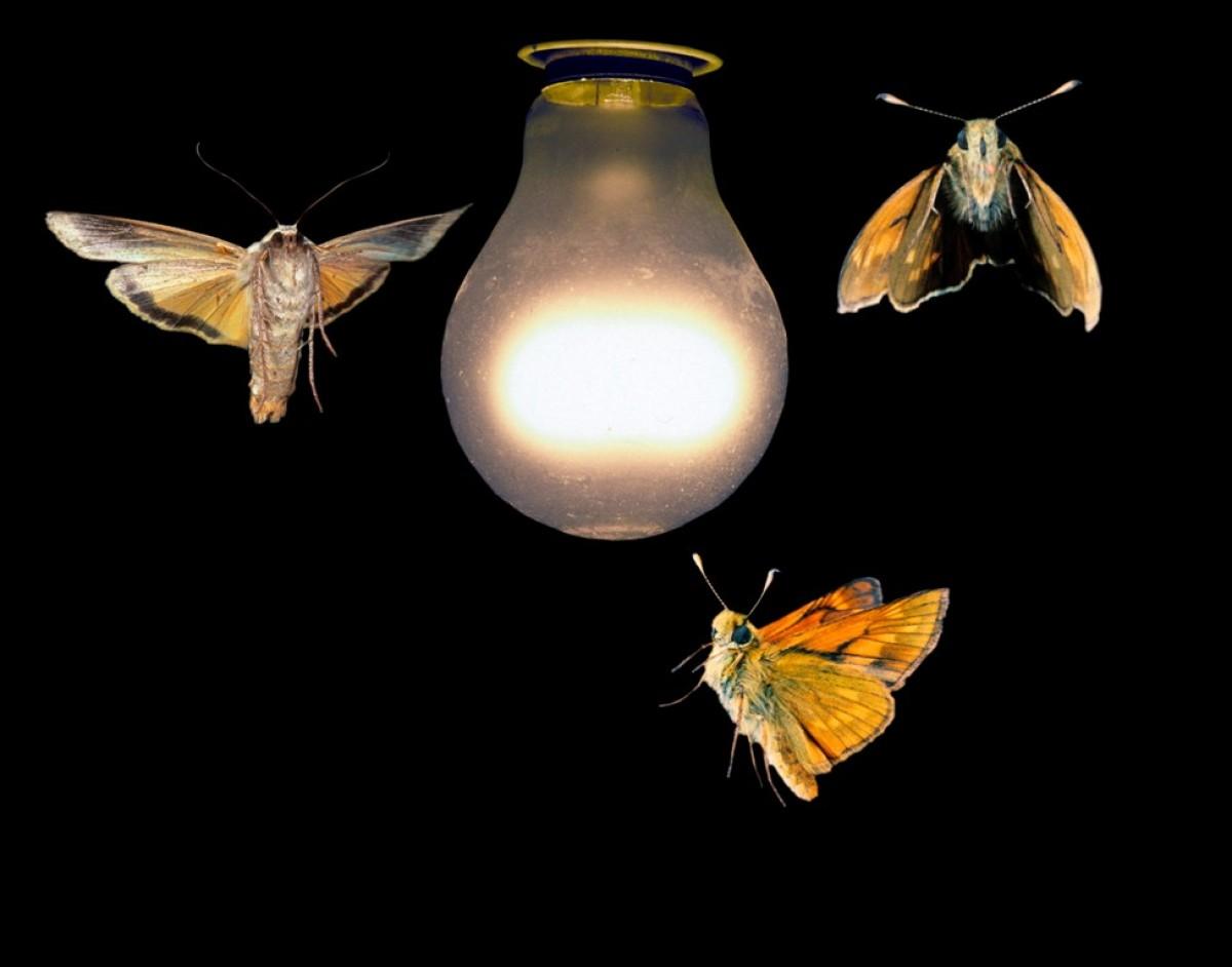 Почему ночные бабочки летят на свет