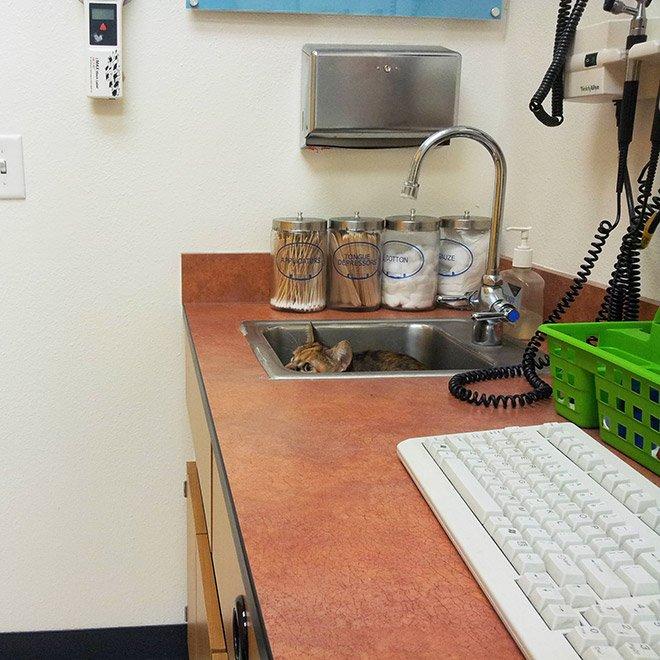 Попытки кошек спрятаться от ветеринаров