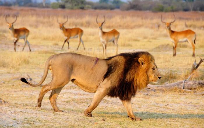 Теперь и львицы отращивают гриву